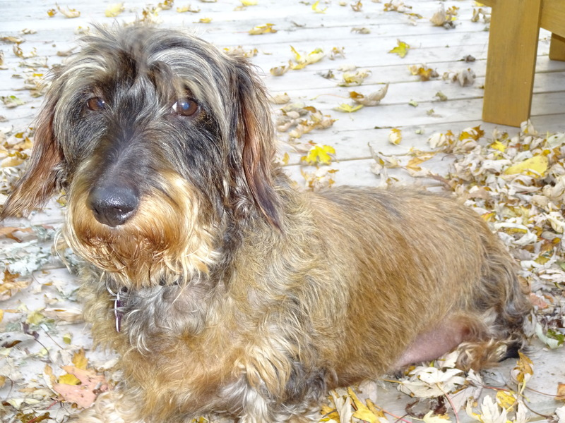 Wire Haired Dachshund Rescue | Canadian Dachshund Rescue Ontario Lucy