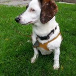 Available - Petey, 10 year old Double Dapple male (Up-dated Bio)