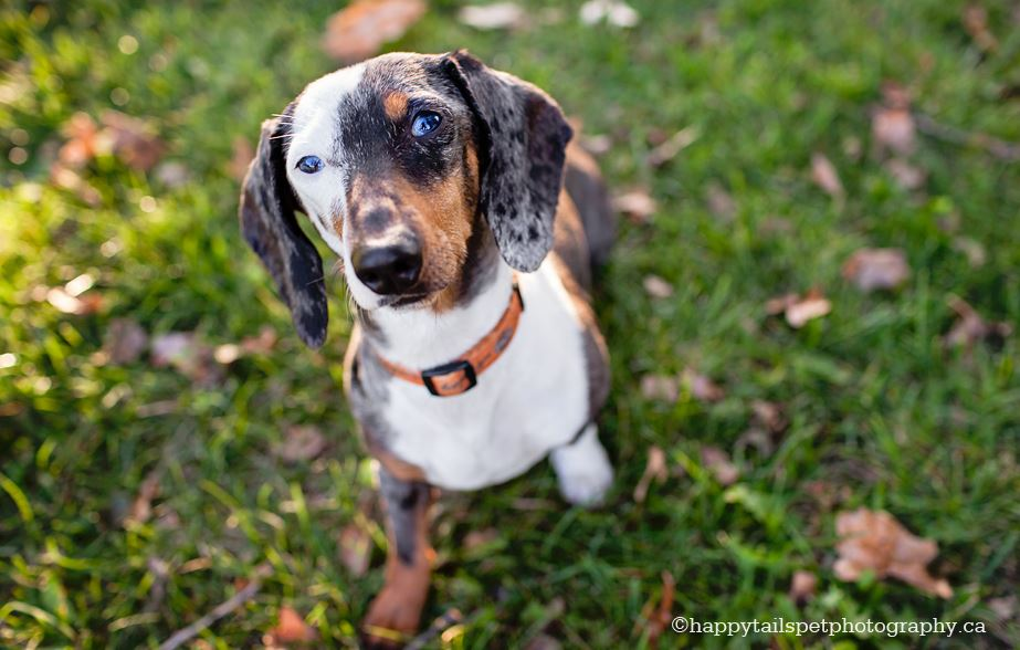 Canadian Dachshund Rescue Ontario Rizzo