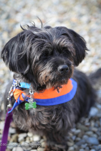 Available - Zach, Dachshund/Shih Tzu mix